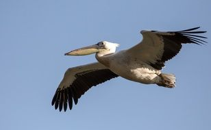 Picture of Pelican Flying in the wildlife