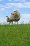 a sheep with a lamb on a green meadow