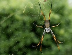 spider with long legs on a web on a background of a green bush