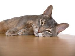 Abyssinian cat is resting