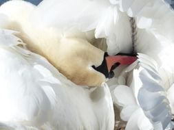 white swan cleans feathers close up