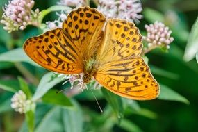 filigree orange butterfly in wildlife