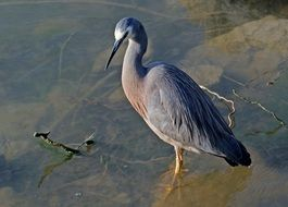 White Faced Heron on a lake bank