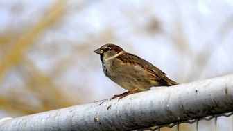 Wild sparrow on a metal fence