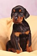 brown puppy Dog, Doberman