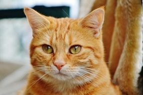 sweet red tabby cat