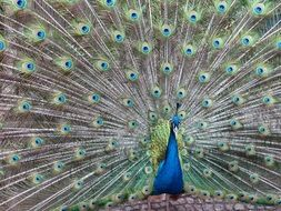 peacock with a beautiful multi-colored tail