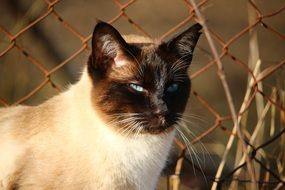 siamese cat sitting by the metal fence