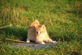 playful red tabby kitten