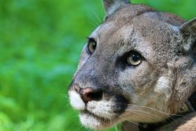 mountain lion head on green grass background