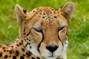 Cat Cheetah Africa