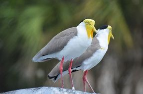 two exotic yellow-headed birds