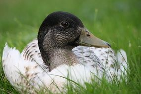 white duck on grass close up