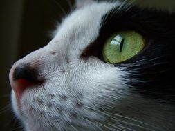 green eyes of black and white cat