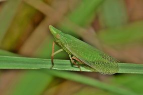 dictyopharid planthopper on grass