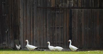 white geese by the yard gate