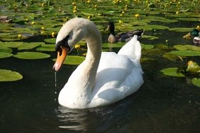 white swan is drinking water in a pond
