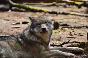 relaxed wolf in wildpark poing