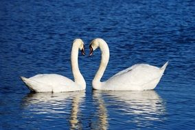 white swans are reflected in the water