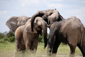 group of Elephants together in wild