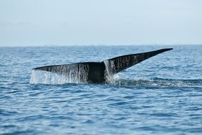 whale tail in ocean