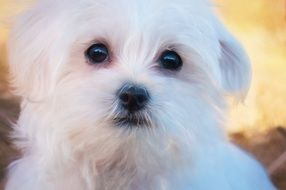 portrait of a cute fluffy white puppy