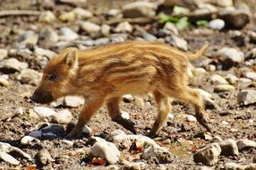 wild piglet in the wildpark poing
