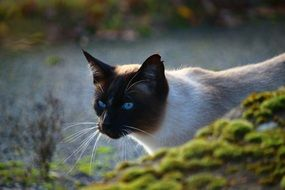 fascinating Siamese Cat