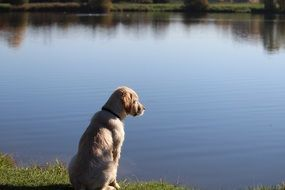 Dog Golden Retriever by the lake