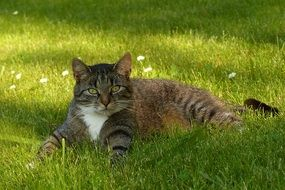 grey white domestic cat outdoor
