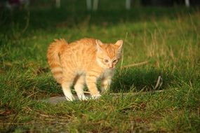frolicking red kitten