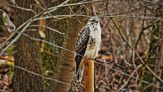 perched common buzzard