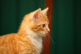 profile portrait of a red kitten