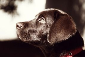 profile portrait of a brown labrador