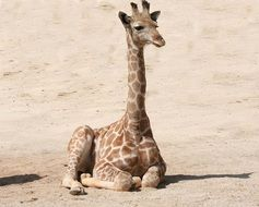 giraffe lies in the sand