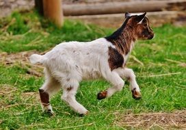 goatling in the wildpark poing