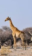 giraffe in a national park in namibia