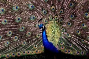 beautiful peacock in the tropics