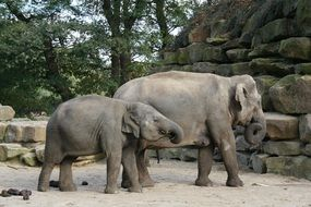 elephant with a cub in the aviary