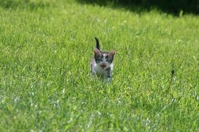 kitten meows in the field