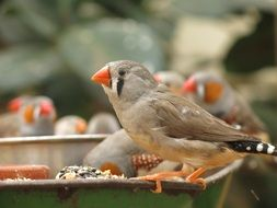 foraging songbirds
