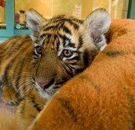 Young Baby Tiger