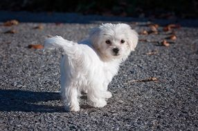 Young White Maltese Dog