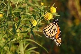 Monarch butterfly in nature
