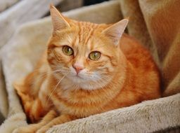 red mackerel tabby