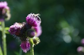 honey bee on the thistle