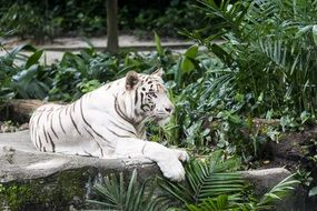 White Tiger lays on stone among tropical plants