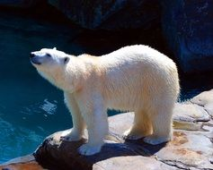 White polar bear in the zoo