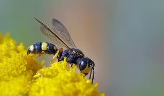 wasp on bright yellow flowers