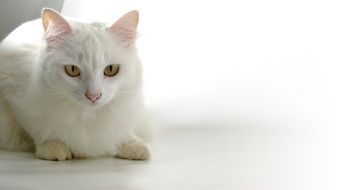 white cat with yellow eyes on the white floor